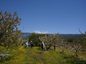 Cherry trees and Ventoux